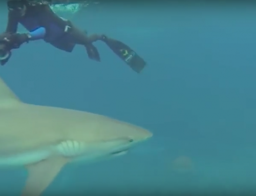 Caribbean Reef Shark Dive